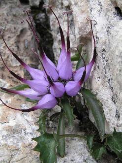 Physoplexis comosa (tufted horned rampion) is a species of flowering plant in the family Campanulaceae, native to alpine Europe. It is the only species in its genus.: Alpine Europe, Comosa Tufted, Flowering Plants, Beautiful Flowers, Pretty Flower, Purple