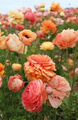 poppies. ( I would LOVE this picture blown up big and framed for my house!): Colour, Orange, Field Of Flowers, Color, Pretty Flowers, Beautiful Flowers, Flowers Garden, Favorite Flower