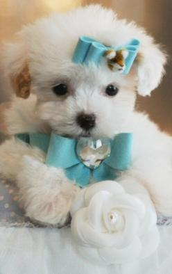 Porter the Poodle Puppy. Holy gracious. It's so cute and fluffy... I'm gonna die.: Dogs, Sweet, Teacup Poodle Puppies, Puppys, Teacup Poodles, Puppies Poodle, Animal