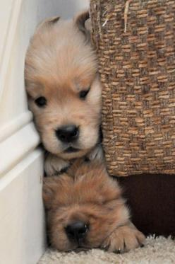 Precious!!! wasn't sure where to pin this adorable one.......under 'don't ask'? But it is so sweet and adorable just decided it was a 'blended family'..........: Face, Animals, Cute Puppies, Dogs, Golden Retrievers, Pet, Puppys, Go