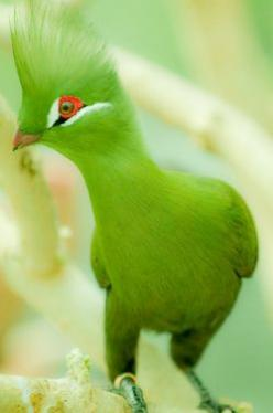 Pretty in Lime Green - colour shades to inspire art, design or new fused glass goodies at Latch Farm Studios www.latchfarmstudios.co.uk: Animals, Nature, Color, Beautiful Birds, Guinea Turaco, Photo, Green Turaco
