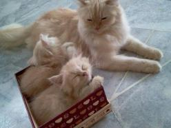 Proud mama shows her munchkins the wonders of cardboard.: Kitty Cats, Meow, Adorable Animals, Cute Cats, Box, Kittens, Feline, Kitties, Cat Lady