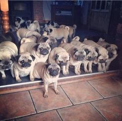 Pug family_I'm not kidding!: Pug Family, Pets Pugs, Dogs Pets, Pugs Dogs, Puggie, Pug Dogs, Pugs Pugs, Animal