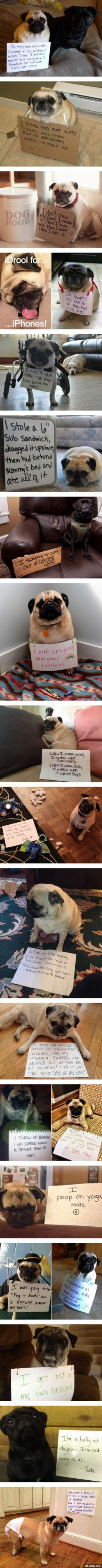 "Pug Shaming... Some of these are hilarious... The ""I only know one position"" thing must be a pug trait.: Pug Trait, Pug Shaming, Dog Shaming, Pug Life, Pugshaming, Animal Shaming, Funny Animal"