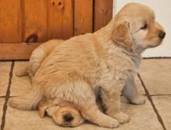 puppy party :D: Sit, Puppies, Animals, Dogs, Golden Retrievers, Pets, Puppys, Funny