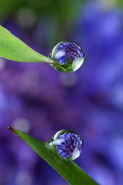 purple and green: Water Drops, Waterdrop, Nature, Dewdrops, Raindrops, Dew Drops, Rain Drops, Water Droplets, Photography