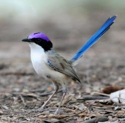 Purple Crowned Fairy-wren (i'd pin this bird even if it was just for it's name !): Animals, Fairies, Exotic Birds, Fairywren Malurus, Purple Crowned Fairy Wren, Beautiful Birds, Purple Crowned Fairywren