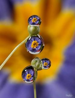 Purple flowers like the door reflected in water drops.: Photos, Marigold Uzurov, Water Drops, Sweets Waterdrops Purple, Macro Photography, Color, Primrose, Raindrop, Dew Drops