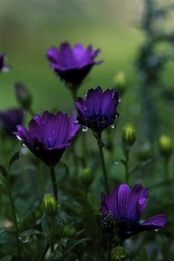 purple rain... I love the Color!!: Purple Rain, Deep Purple, Nature, Purple Flowers, Purple Passion, Beautiful Flowers, Things Purple, Color Purple, Garden
