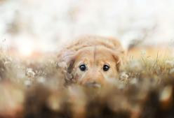 R.I.P Chuppy: Adorable Pet Photograhy by Jessica Trinh: Animals, Pet Photography, Dogs, Golden Retrievers, Pets, Jessica S, Puppy, Friend, Eye