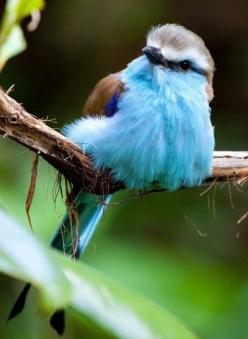 Racket-Tailed Roller , what a pretty bird: Rollers, Animals, Racket Tailed Roller, Nature, Pretty Birds, Beautiful Birds