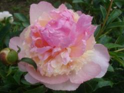 Raspberry Sundae peony. Plant peony roots in the fall for spring flowers.: Paeonia Peonies, Grows Peonies, Peonies Iris, Recipes Raspberries, Products