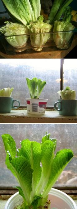 Re-grow Romaine Lettuce Hearts - just cut, place in water, and watch them grow back in days...: Green Thumb, Idea, Greenthumb, Gardening Outdoor, Regrow Romaine Lettuce, Vegetable Garden, Re Grow