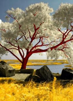 Red Beech Tree | PicsVisit http://picsvisit.blogspot.ca/2013/07/red-beach-tree.html?m=1: Beautiful Photo, Red Beach, Beautiful Trees, Color, Amazing Trees, Nature Photography, Flowers Garden