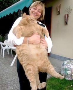 Release me human, I must feed…: Big Cats, Animals, Pet, Funny Stuff, Fat Cats, Things, Fatcat, Kitty