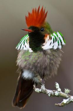 Rufous-crested Coquette.  Looks like 3 or 4 separate birds thrown together.: Animals, Beautiful Birds, Hummingbirds, Ave