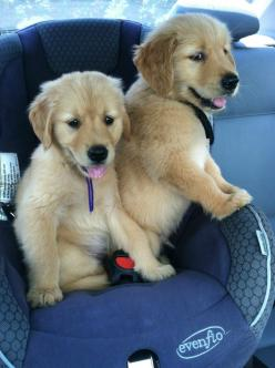 Sam and Sage - Imgur: Doggie, Baby Goldens, Puppies, Dogs, Adorable Animals, Cars, Baby Animals, Golden Retriever
