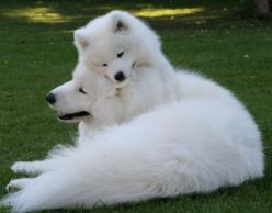 Samoyed Dog...it's sooo fluffy!!!!!: Fave Sooo Fluffy, Animals Dogs, Dog It S Sooo, Samoyed Dogs, Dogs Beautiful, Baby Animals, Fluffy Beautiful, Samoyed Dog It S, Favorite Pet