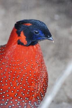 Satyr Tragopan also known as the crimson horned pheasant, is a pheasant found in the Himalayan reaches of India, Tibet, Nepal and Bhutan.: Satyr Tragopan, Crimson Horned, Bhutan, Animals Birds, Beautiful Birds, Tragopan Tragopan, Horned Pheasant