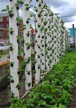 Save your back and ground space; plant strawberries and herbs in tubes.: Garden Ideas, Gardening Ideas, Strawberries, Outdoor, Gardens, Strawberry Vertical, Pvc Pipe