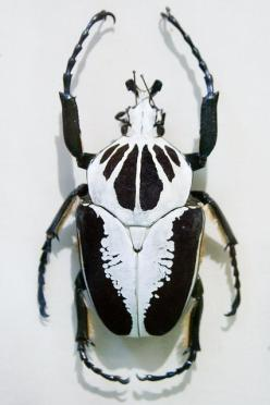 scarab - A big, heavy-bodied beetle with >30,000 species with wide variety of colors, from .5 to 2 inches long; a scavenger.: Insect Museum, Animals, Regius Insect, Beatles Insect, Beautiful Bugs, Beetles