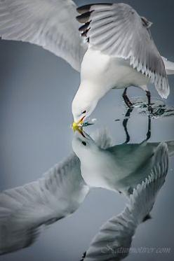Seagull reflection: Mirror, Animals, Seagull, Nature, Posts, Reflections, Beautiful Birds, Photography