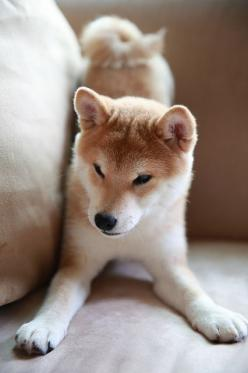 Shiba baby puppy in a playful stance! Odin does this all the time lol: Doggie, Shiba Inu, Dogs, Pet, Puppy, Baby Puppies, Shibainu, Animal