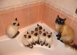 Siamese mom teaches her babies how to avoid the dreaded Bath.: Kitty Cats, Animals, Siamese Cats, Pets, Crazy Cat, Baby, Kittens, Families, Cat Lady