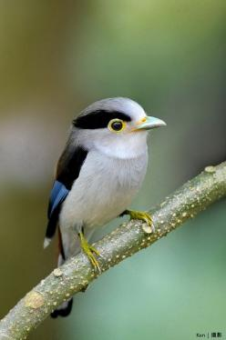 Silver Breasted Broadbill - Many of the broadbills are brightly coloured birds that present broad heads, large eyes and a hooked, flat and broad beak. They range from 13 to 28 centimetres in length, and live in the dense canopies of wet forests, allowing