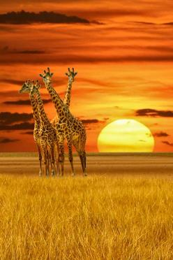 ❥‿↗⁀simply-beautiful-world atraversso: A Tower of Giraffes by Victor Caroli: Google, Nature, Beautiful Animals, Sunsets, Posts, Beautiful Sunset, Sunrise Sunset, Photo, Giraffes