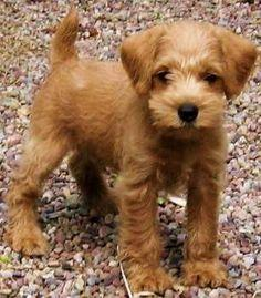 Small Dogs That Dont Shed Or Grow: Growing Puppies, Schnoodle Breeder, Apricot Schnoodle, Puppys, Breeder Hypoallergenic, Future Pet, Hypoallergenic Dogs, Virginia Schnoodle, Animal