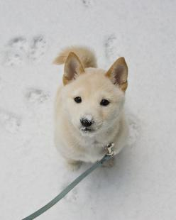 Snow Dog. I think my little girl needs a brother or sister to play in the snow with this winter.: Puppies, Animals, Shiba Inu, Dogs, Pet, Puppys, Box, Friend