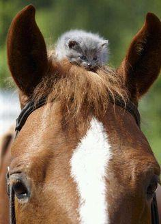 ".So adorable, but I can't look at it without laughing and thinking: 'Till the horse sneezes...""MEOW!!"" Flying kitty!': Cats, Animals, Friends, Sweet, Horses, Stuff, Pet, Kittens, Kitty"