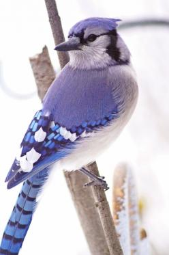 So I know that this isn't really a fall themed picture - it's more wintery - but it was too cute not to pin.: Blue Jays, Beautiful Birds, Favorite Bird, Animal