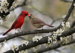 So sweet ~ A male cardinal feeding his mate. Cardinals mate for life.         (From linda yvonne on Flickr): Animals, Sweet, Nature, Things, Beautiful Birds, Photo, Red Birds, Cardinals