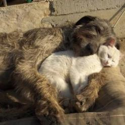 So sweet!  An Irish wolf hound with a white cat.: Cats, Animals, Sweet, Friends, Dogs, Irish Wolfhounds, Pets, Creatures, Adorable