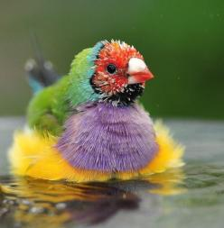 so unique and so pretty,: Lady Gouldian, Colorful Birds, Animals, Nature, Beautiful Birds, Gouldian Finch