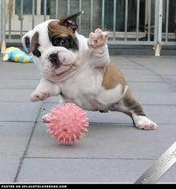 soccer star puppy: Animals, Englishbulldog, Bulldog Puppies, Pet, English Bulldogs, Friend