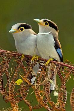 Sooo sweet. Silver-breasted Broadbill: Birds Birds, Little Birds, Broadbill Pair, Beautiful Birds, Animals Birds, Broadbill Birds, Silver Breasted Broadbill