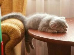 Sorry to leave mah butt hanging out. I jus' couldn't go one. . . more. . . step. . . zzzzzzzz.  Funny Animal Of The Day  ... see more at PetsLady.com ... The FUN site for Animal Lovers: Kitty Cats, Animals, Sleepy Kitty, Pets, Funny, Cat Naps, Kit
