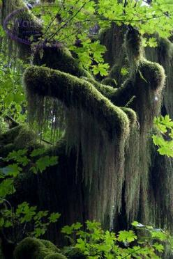 Spanish Moss hanging from tree branches with Maple Leaves: Moss Trees, Union, Tree Branches, Forest, Moss Hanging, Maple Leaves, Spanish Moss
