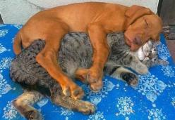 Spooning......The cuteness of this picture is overwhelming!: Animals, Sweet, Dogs And Cats, Pets, Friendship, Funny, Puppy, Adorable, Photo