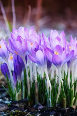spring crocus....Nature in Violet!: Spring Flowers, Spring Crocus, Gardens, Beautiful Flowers, Gardening, Purple Crocus, Crocus Flower