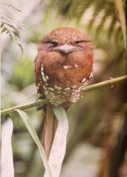 Sri Lankan Frogmouth. This is one wicked looking bird.: Birds Birds, Lanka Frogmouth, Animals, Sri Lankan, Beautiful Birds, Angry Birds, Lankan Frogmouth