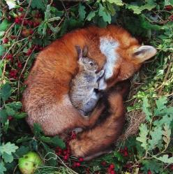 Strange Friendship in the wild. So sweet.... Brought to you in part by StoneArtUSA.com ~ affordable custom pet memorials since 2001: Rabbit, Animals, Sweet, Friends, Bunny, Odd Couple, Bunnies, Foxes