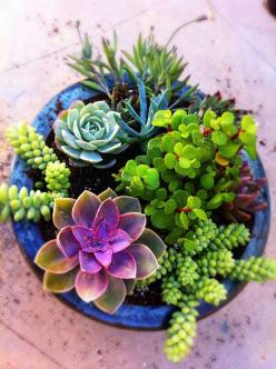 Succulent Container Gardens are such a treat to look at with so many different colors and textures: Succulents Garden, Mixed Potted, Blue Pot, Succulent Container, Outdoor, Mixed Succulent, Potted Succulents
