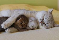 Sweet mama kitty protecting her kittens.: Cats, Animals, Mothers, Sweet, Pets, Adorable, Kittens, Baby, Kitty