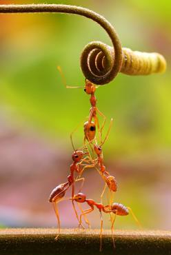 Teamwork #photos, #bestofpinterest, #greatshots, https://facebook.com/apps/application.php?id=106186096099420: Work, Teamwork, Animals, Nature, Macro Photography, Ants, Insects, Team, Team Work
