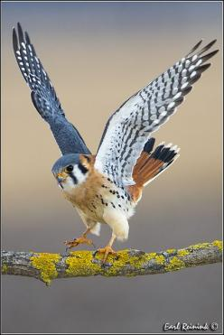 The American Kestrel, sometimes colloquially known as the Sparrow Hawk, is a small falcon, and the only kestrel found in the Americas.: American Krestel, American Kestrel, Kestrel 130115 0111, Animals Birds, Beautiful Birds