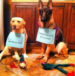 The assassination that set us all free. Rest in Pieces, Elf on Shelf.: Animals, Dogs, Dog Shaming, Shelves, Christmas, Funny, Elf On The Shelf, Funnie